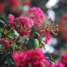 Musk lorikeet - australia....in flowering gum tree