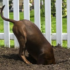 Exploring how to stop dog digging holes in the yard, carpet, under the fence and gate. Also explained are various reasons why dogs and puppies dig Stop Dogs From Digging, Dogs Digging Holes, Outdoor Dog Toys, Outside Dogs, Dog Fence, Dog Yard, Horse Fence, Pallet Fence, Fence Art