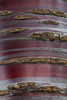 Paperbark Cherry, Prunus serrula. Rinde.