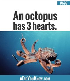 http://edidyouknow.com/did-you-know-676/ An octopus has 3 hearts.