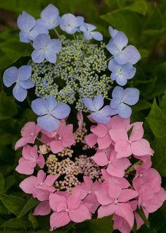 Proven Winners - Let's Dance® Starlight - Bigleaf Hydrangea - Hydrangea macrophylla blue pink pink. Hydrangea Macrophylla, Hortensia Hydrangea, Hydrangea Garden, Hydrangea Flower, Garden Trees, Trees To Plant, Garden Plants, Fresh Flowers, Gardens