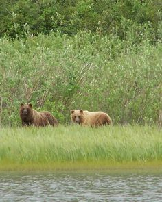 Grizzlies on the Mackenzie River out of Inuvik, NWT. Mackenzie River, Canadian Travel, Northwest Territories, Beautiful Creatures, Highlights, Scenery, Coast, Canada, People