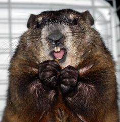 Groundhogs Are Giant Squirrels