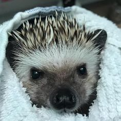 We interrupt your daily scrolling to bring you a very boopable nose 👆 IG's is looking super cute after his bath with our Lavender Hogwash, and his mama tells us he's smelling great, too! Cute Hedgehog, Hedgehog Cage, Pygmy Hedgehog, Cute Little Animals, Cute Funny Animals, Beautiful Creatures, Animals Beautiful, Animal Noses, Majestic Animals