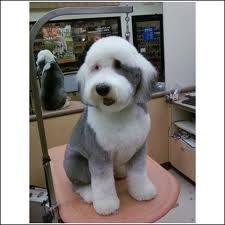old english sheepdog grooming - Căutare Google