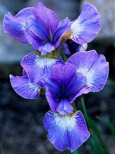 Iris sibirica 'Harpswell Snowburst' offers blue-violet flowers edged in white.