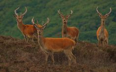The Four Amigos. Red Deer on Dunkery Beacon, Exmoor