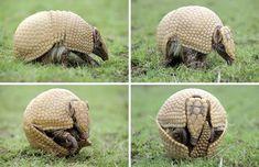armadillo gigante