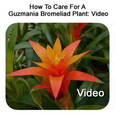 1000 images about bromeliads on pinterest tropical gardens tropical and tropical plants. Black Bedroom Furniture Sets. Home Design Ideas