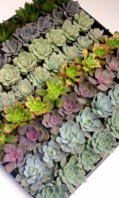 100 Succulents for $134 ($16 shipping)