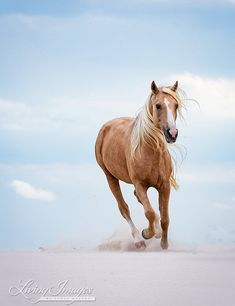"""Horse Photography """"Palomino Stallion Runs in the Dunes"""" Horse Wall Art Desert Palomino Spanish Barb Equine Print Dunes Home Decor Cute Horses, Horse Love, All The Pretty Horses, Beautiful Horses, Animals And Pets, Cute Animals, Black Background Images, Horse Background, Horse Wall Art"""