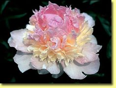 This site has every imaginable peony variety. This one is Raspberry Sundae and I want it B A D.