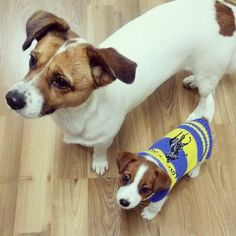 I learned from the best. Chien Jack Russel, Jack Russell Puppies, Terrier Dogs, Rat Terriers, Cute Puppies, Cute Dogs, Parsons Terrier, Animals And Pets, Cute Animals