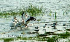 Pelicans @ Lake Chapala