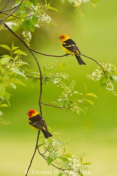 A chokecherry tree adorned in new blossoms sways gently in the breeze as two male western tanagers perch lightly on a branch. A sure sign of spring in the Rocky Mountain West is the arrival of the western tanager. These birds, from a mostly tropical famil Pretty Birds, Love Birds, Beautiful Birds, Image Nature, Nature Images, Nature Nature, Nature Animals, Spring Blossom, Colorful Birds