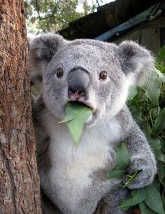 Quem quer um abraço dessa coisa fofa?   #Hao123Fofurinhas #Koala