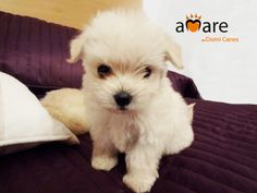 Lovely puppy of Bichon Maltés