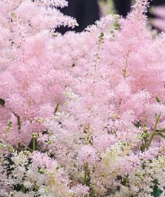 Love this Younique Silvery Pink Astilbe Bareroot by Spring Hill Nursery on #zulily! #zulilyfinds