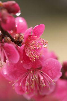 Japanese plum by Sky-Genta, via Flickr