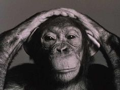 """""""If chimpanzees have consciousness, if they are capable of abstractions, do they not have what until now has been described as 'human rights'? How smart does a chimpanzee have to be before killing one constitutes murder? Funny Monkey Pictures, Los Primates, Animals And Pets, Cute Animals, Nature Animals, Hilarious Animals, Culture Jamming, Ape Monkey, Planet Of The Apes"""