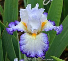 TB Iris germanica 'Wildcat Madness' (Van Hook, 2014)