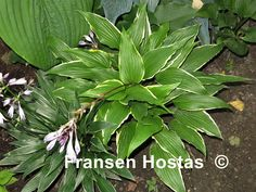 Hosta 'Dragon Warrior' € 9,00 Dark green shiny leaves with a slightly rippled creamy-white margin, beautiful sport of 'Red Dragon'.   Hosta 'Dragon Warrior' is a medium-large Hosta that has lavender flowers and grows in half shade/shade. The height is 40 to 50 cm and the growth is medium.  This is a sport of Hosta 'Red Dragon'.