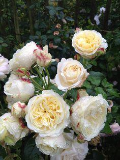 Rosier SOURIRE DE MIREILLE BRASSINE by FilRoses Le Temps des Roses, via Flickr - www.filroses.com