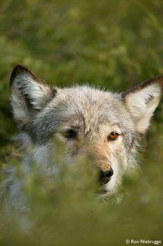 """Gray """"Timber"""" Wolf, Denali National Park, Alaska  Canis lupus"""