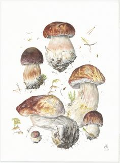Boletus pinicola II
