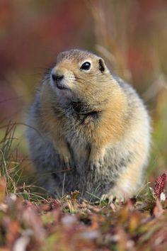 Ground Squirrel, Rodents, Squirrels, Rabbits, Arctic, Mammals, Alaska, Bbc, Cute Pictures