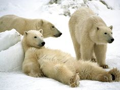 Churchill, Manitoba - Canada's Places of a Lifetime - National Geographic Travel. Polar Bear Capital of the World.