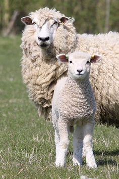 The Romney Sheep Breeders Society represents the interests of Romney breeders across the UK, offering registration and marketing services to pedigree and commercial breeders alike. The original Rom… Farm Animals, Animals And Pets, Cute Animals, Romney Sheep, Amor Animal, Sheep Breeds, Sheep Art, Cute Sheep, Sheep And Lamb