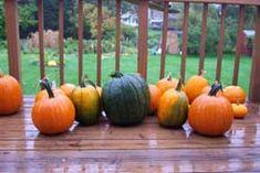 Pumpkin Nook 2011 Everything about pumpkins, growing, recipes, pumpkin seeds, facts, history, pumpkin recipes!