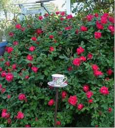 knock out rose and tea cup birdfeeder I made
