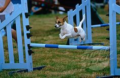 Stock Photo #4070-6301, Jack Russell Terrier flying over a jump during agility competition