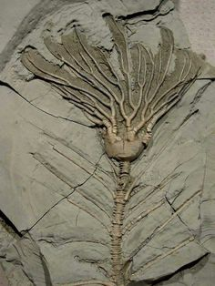 Fósil vegetal. Www.geologyin.com