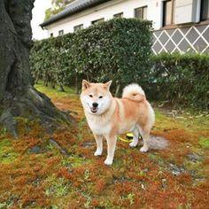 """柴犬, Shiba Inu <3 ~lisa. """"Good morning! 三月最終日も頑張ってきてね〜*\(^o^)/* 月末は忙しいよね""""(c) @ 2016/3/31"""