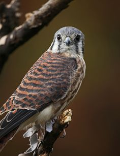 American Kestrel - Smallest Bird of Prey, but so intelligent and beautiful. I used to handle these at Coyote Point Museum :)