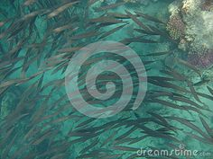Red Sea school of fish swims along coral