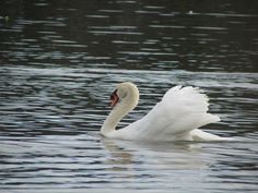 Swans = soulless demonic hell-spawn of the devil.