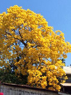 El araguaney (Handroanthus chrysanthus), conocido con los nombres de guayacán, roble amarillo, cañahuate y tajibo