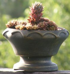 Hens and chicks.