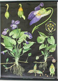 Vintage Botanical Chart, Wild Viola,  Jung Koch Quentell School Pull Down Chart. £160.00, via Etsy.
