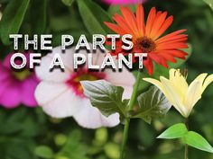 The Parts of a Plant (song for kids about flower/stem/leaves/roots) - Identify the major parts of plants, including stem, roots, leaves, and flowers. Harry Kindergarten, Kindergarten Science, Elementary Science, Preschool Garden, Preschool Ideas, Preschool Boards, Plant Song, Plant Lessons, Plant Science