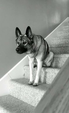 awwww-cute:  my friends dog likes to sit on the step while keeping watch for passing traffic