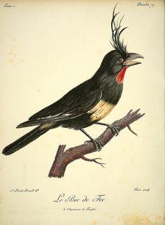 antique ornithology print