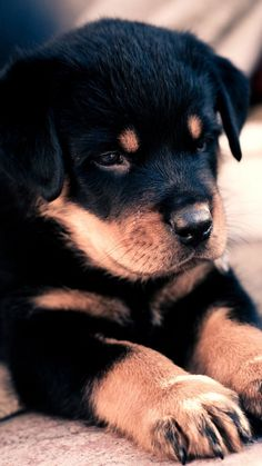 ROTTWEILER ROTTI   #cute #DOG #puppy #dogs #puppies