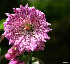foxglove flower - Google'da Ara