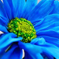 Blue Daisy by Luz Adriana Villa