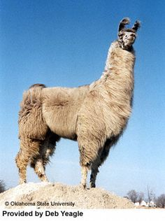 Google Image Result for http://www.ansi.okstate.edu/breeds/other/llama/llama1.jpg